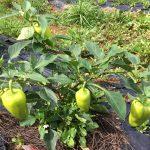本物の野菜は虫が食べない理由 地球の守り人 中原 稔コラム No.5
